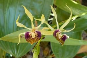 Čierna orchidea, Botanická záhrada, Belize