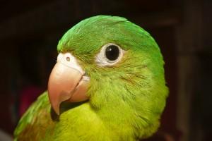 Zelený Papagáj, Atlantico Norte, Nikaragua